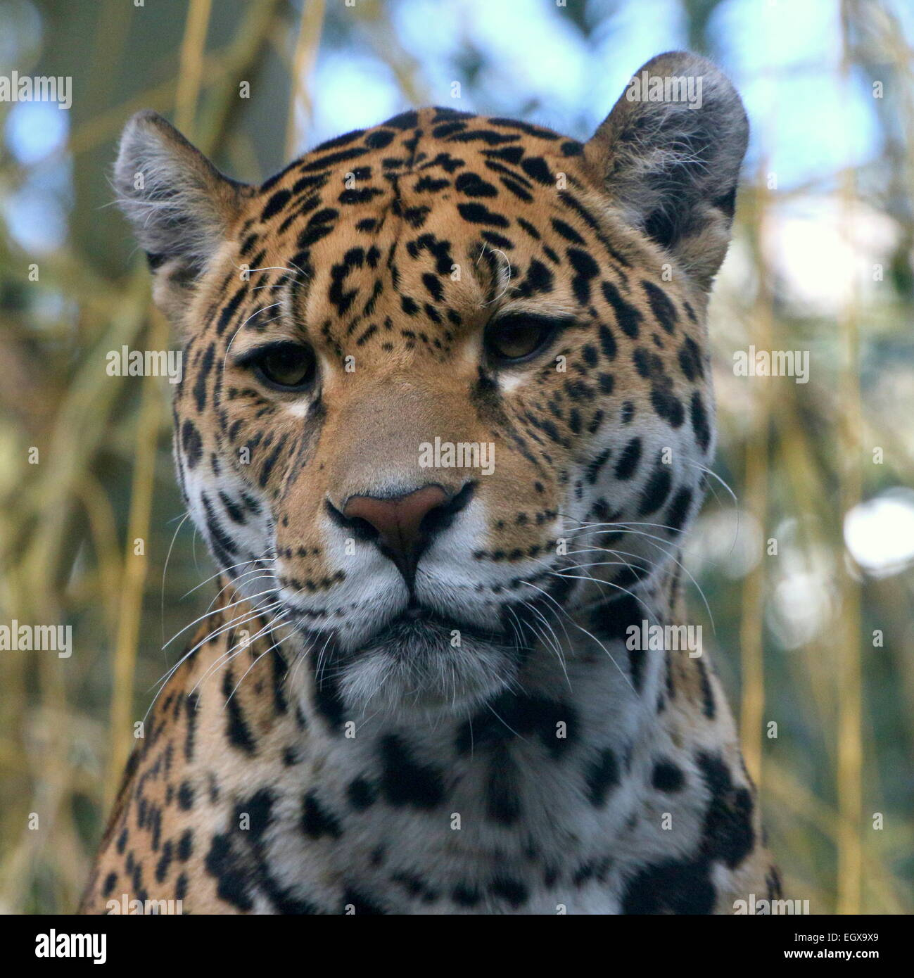 Female South American  Jaguar (Panthera onca) - Stock Image