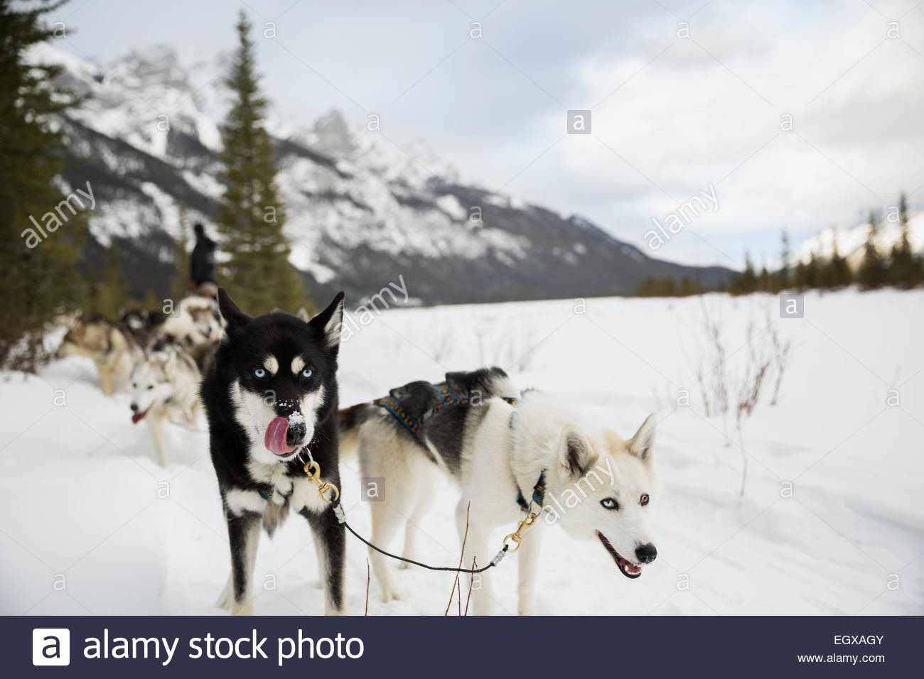 Lead dogs of dogsled in snowy field - Stock Image