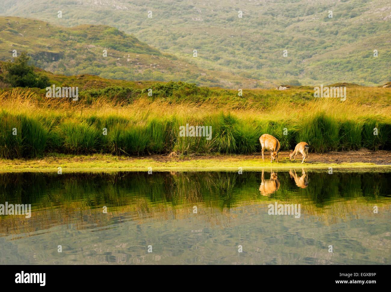 Sika Deer on shore of Lakes of Killarney, Killarney National Park, Ireland - Stock Image