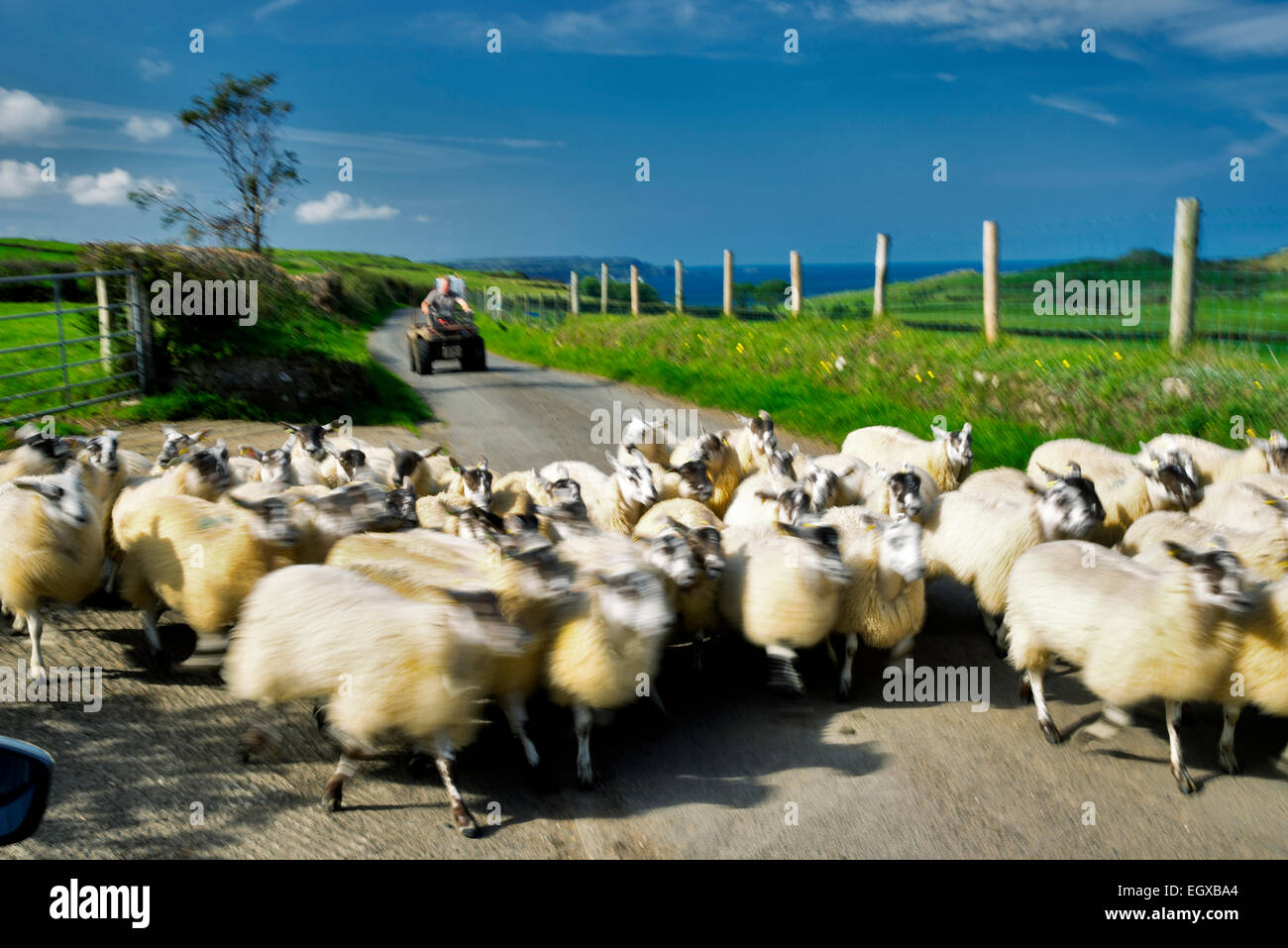 Sheep being moved down road. Torr Head. Northern Ireland. - Stock Image