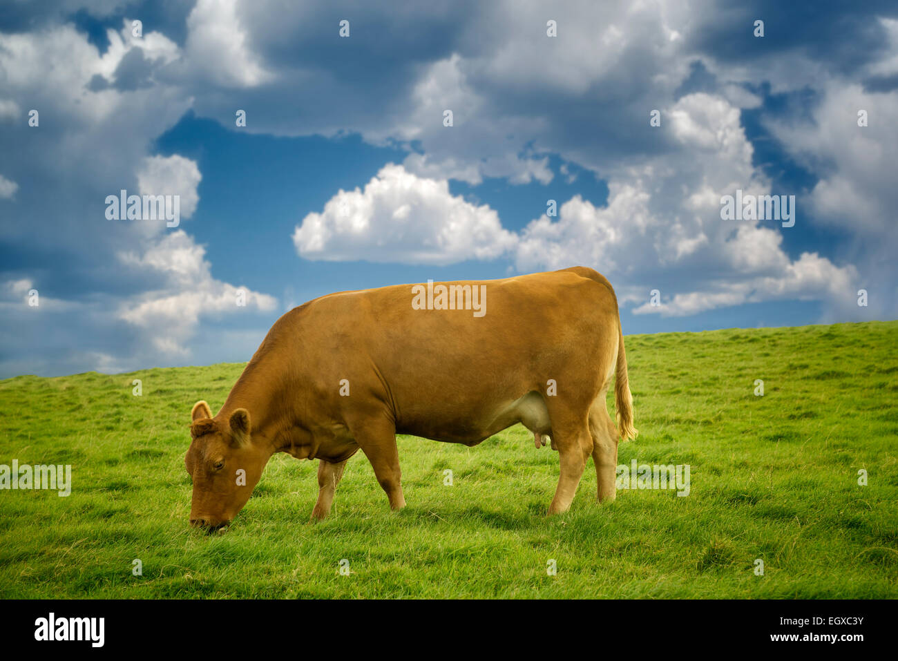 Cows grazing in pasture. Ireland. - Stock Image