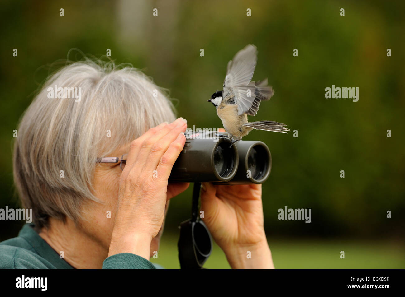 Woman with binoculars and black-capped chickadee, Greater Sudbury, Ontario, Canada - Stock Image