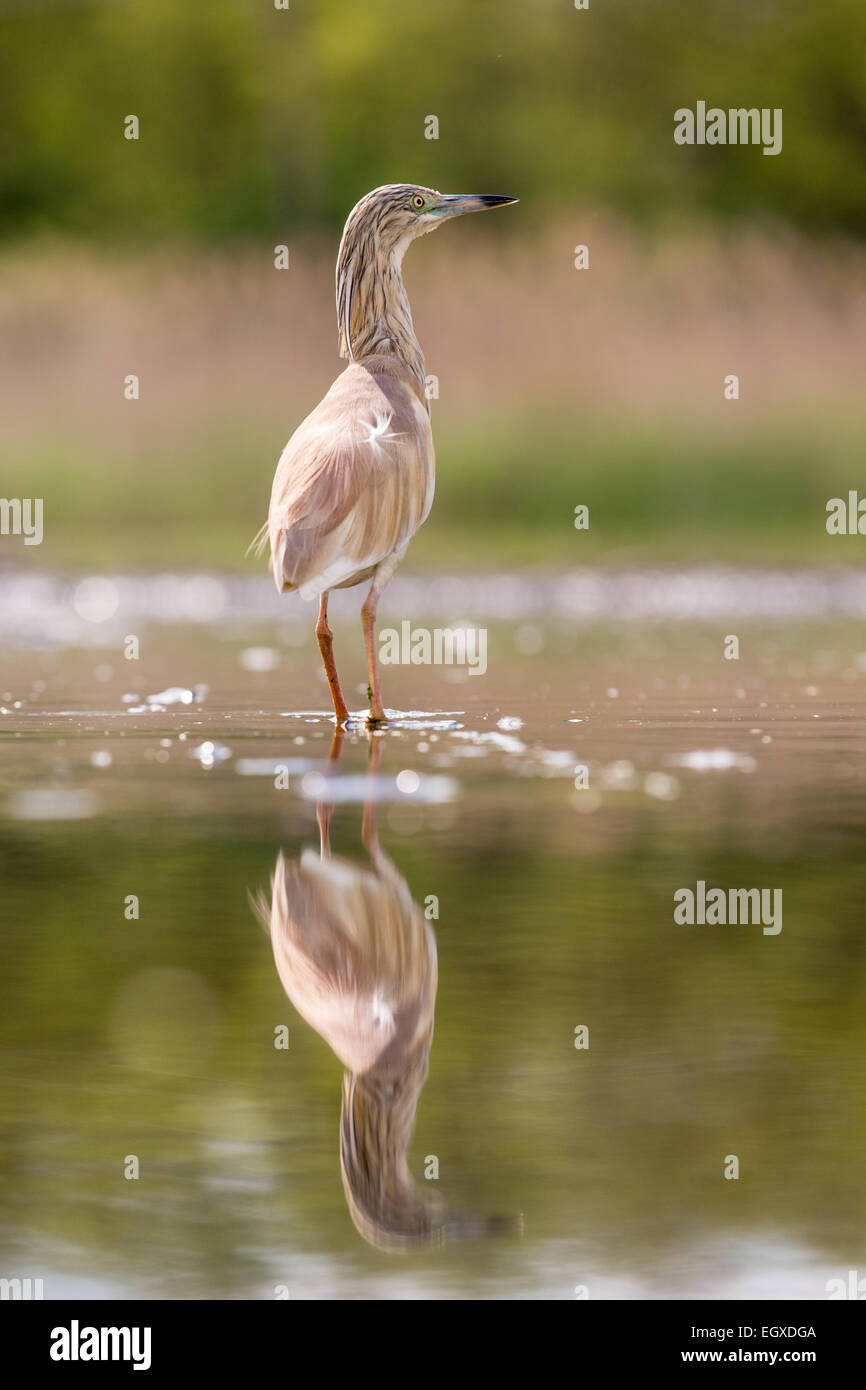 Squacco Heron (Ardeola ralloides) wading in shallow water - Stock Image