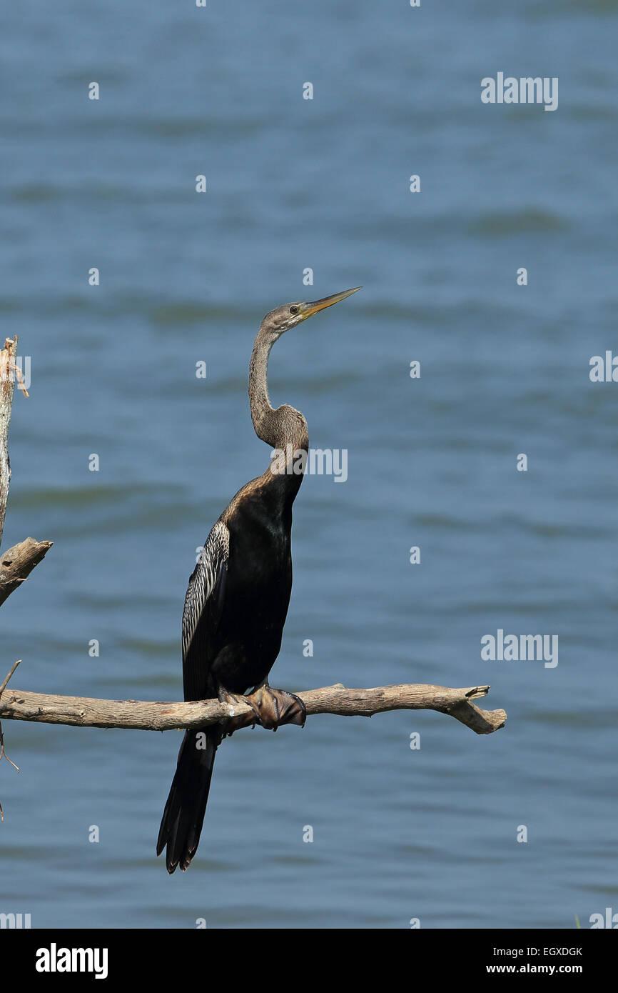 Oriental Darter (Anhinga melanogaster) - Stock Image
