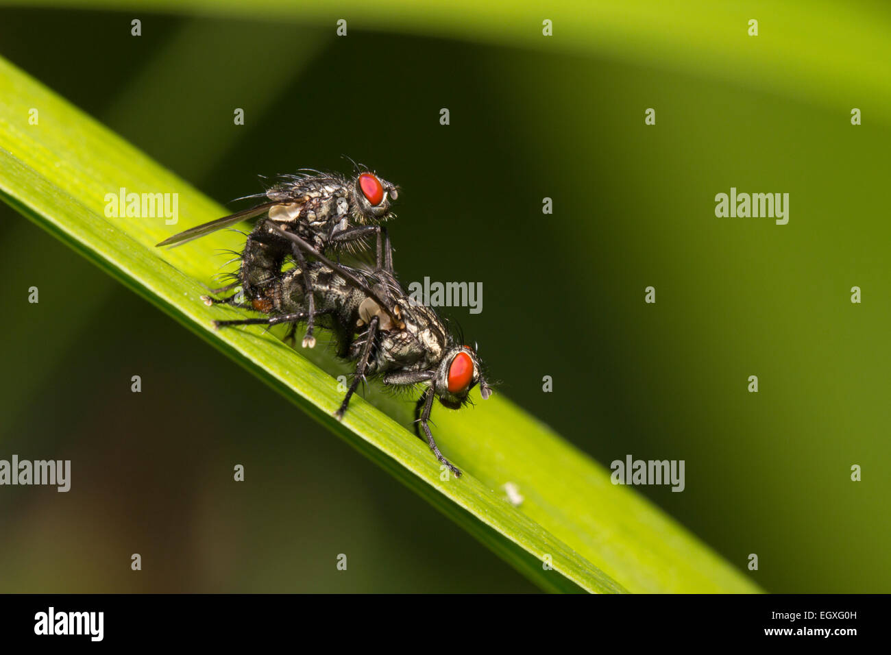 Mating pair of flesh flies, Sarcophaga sp.  Species ID not confirmable. - Stock Image