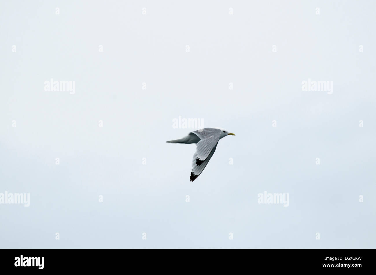 Common Gulls are quite common along the shores of northern Europe.  Die Sturmmöwe fliegt häufig an den - Stock Image