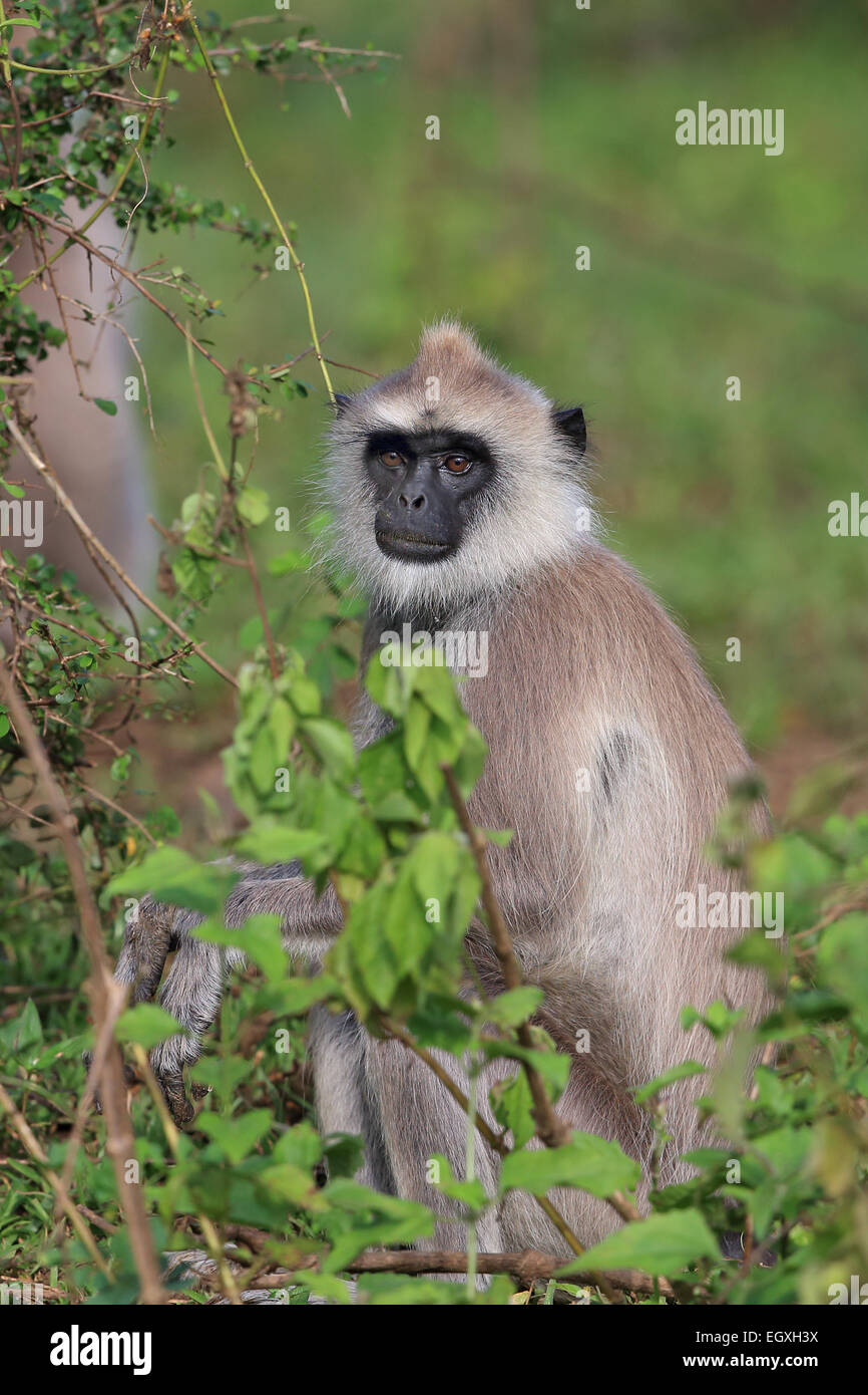 Tufted Grey Langur (Semnopithecus priam priam) Stock Photo