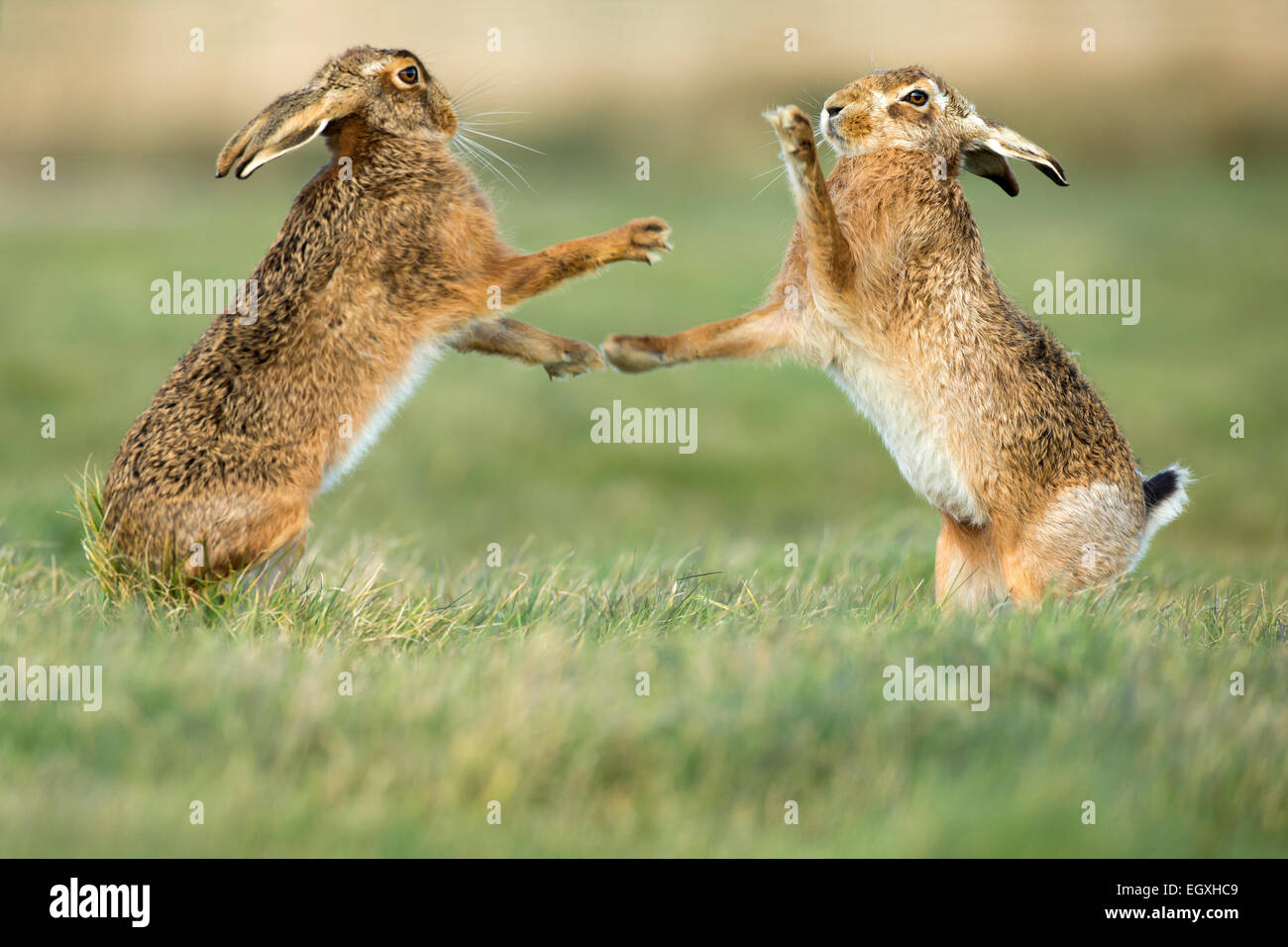 Brown hares (Lepus europaeus) standing and boxing during mating season in March - Stock Image