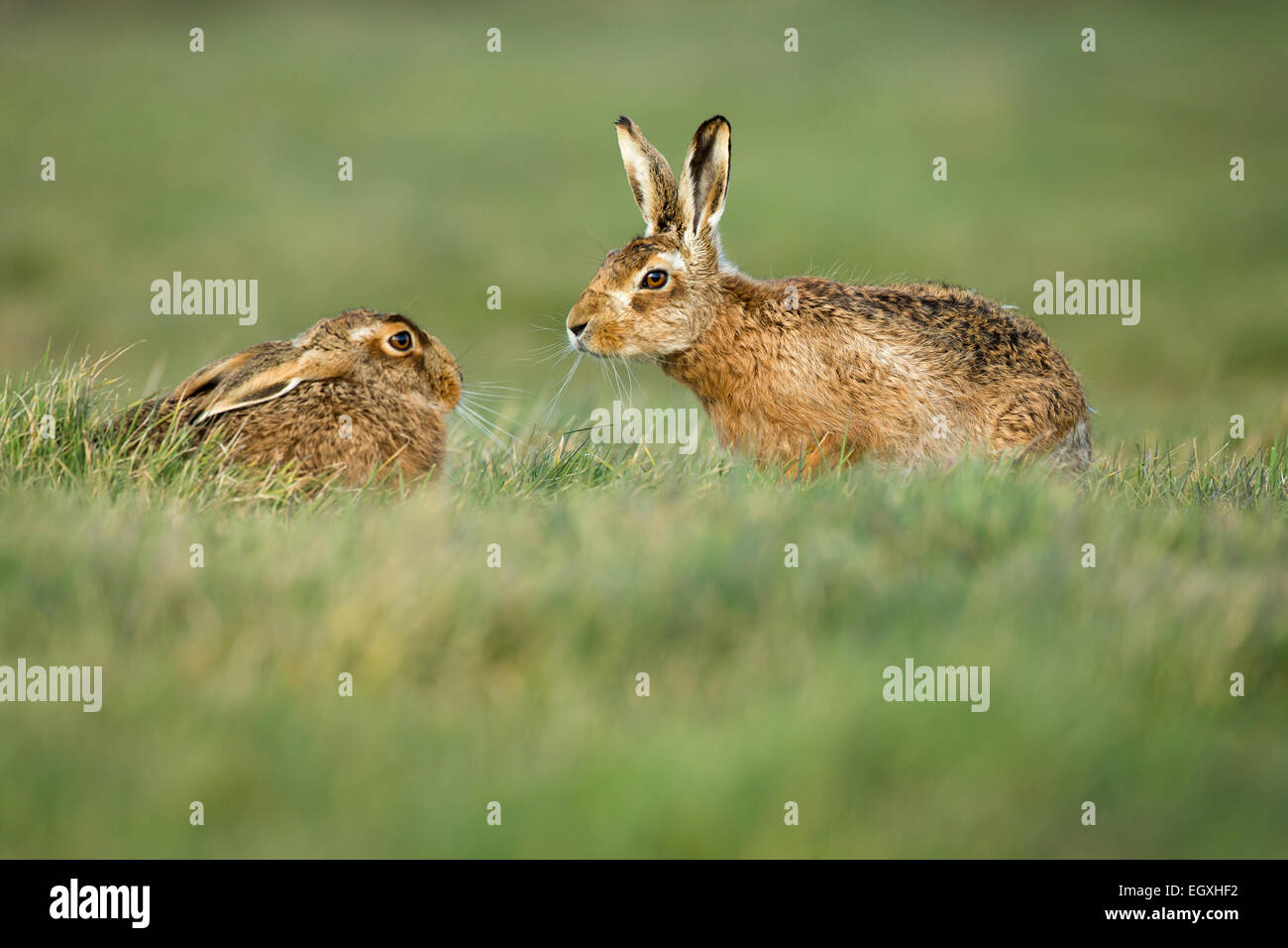 Brown hares (Lepus europaeus) pair male approaching female during mating season in March - Stock Image