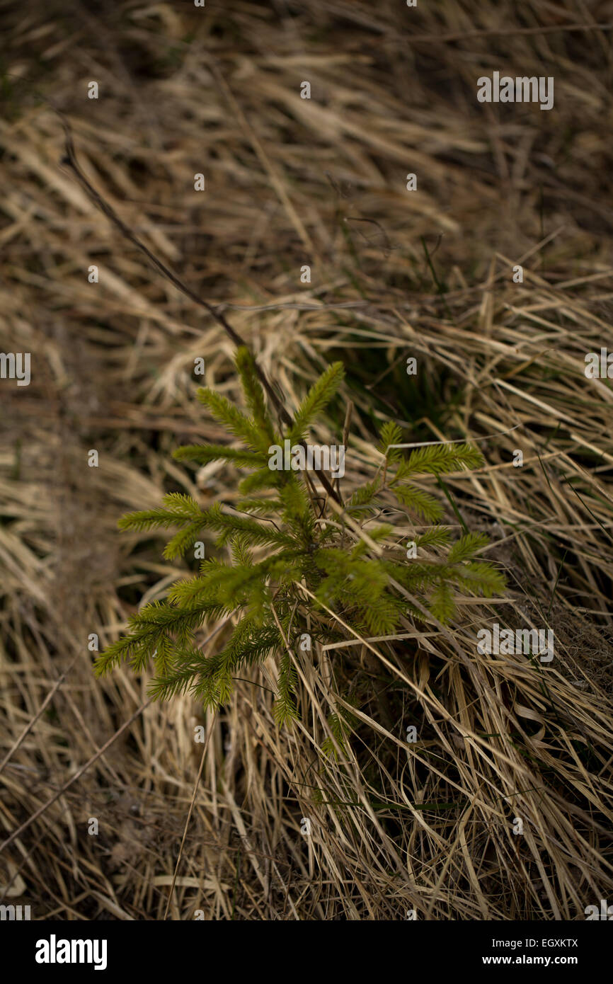 A young conifer pushing through the grass. Rhoen Mountains, Germany - Stock Image