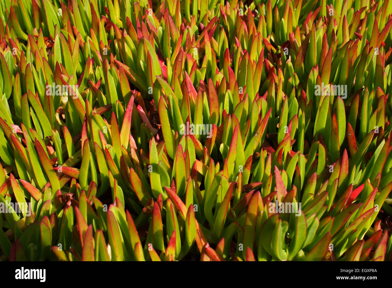 Succulent Ground Cover Plants Cover The Sand Dunes On St