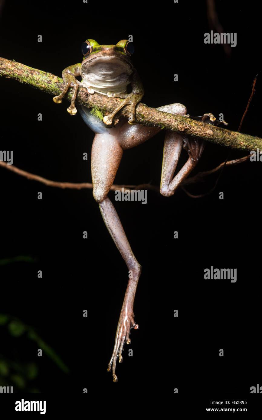 A white lipped frog (Hylarana raniceps) climbs a branch. - Stock Image