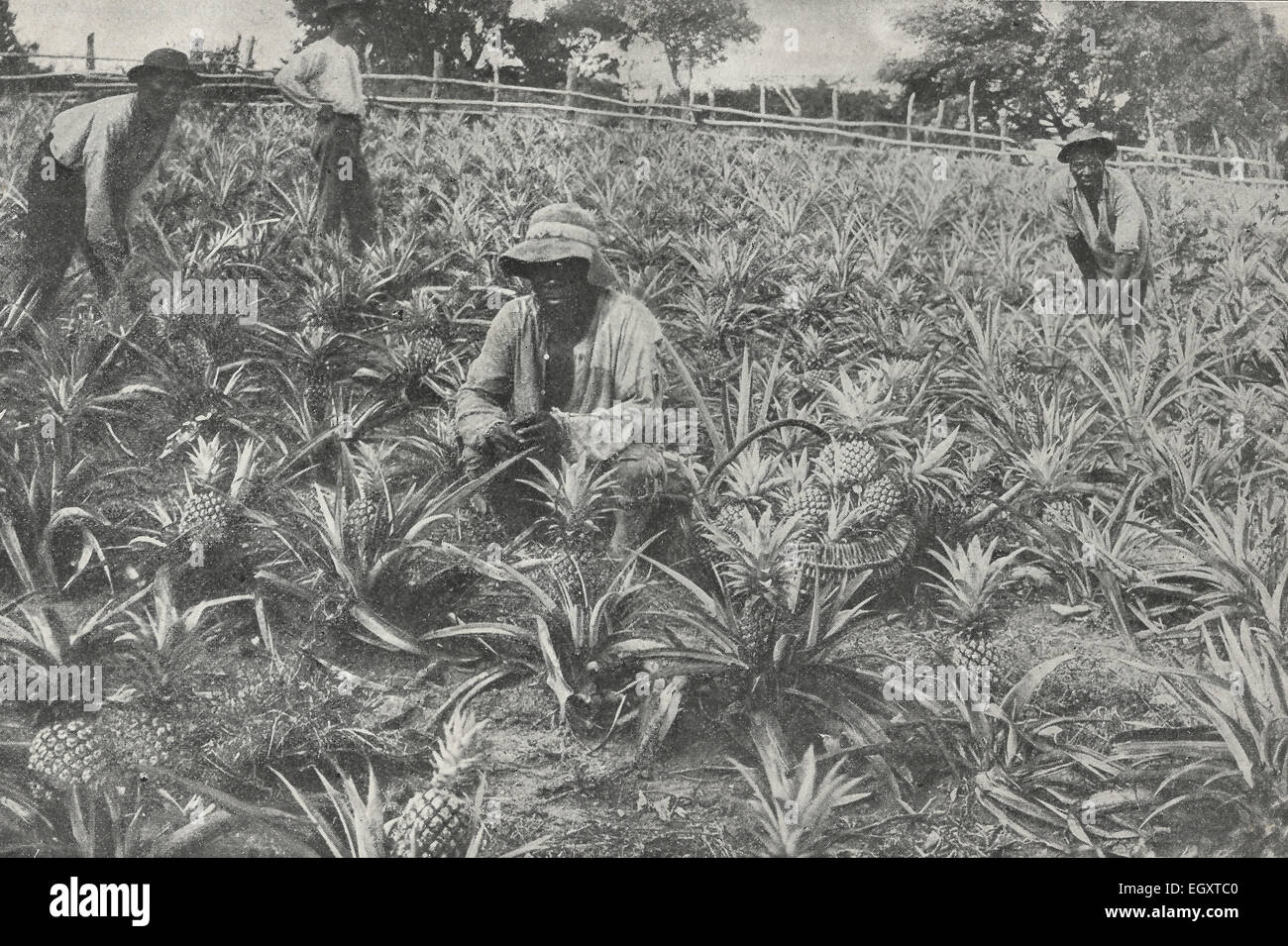 A South African Pineapple Field, 1890s - Stock Image