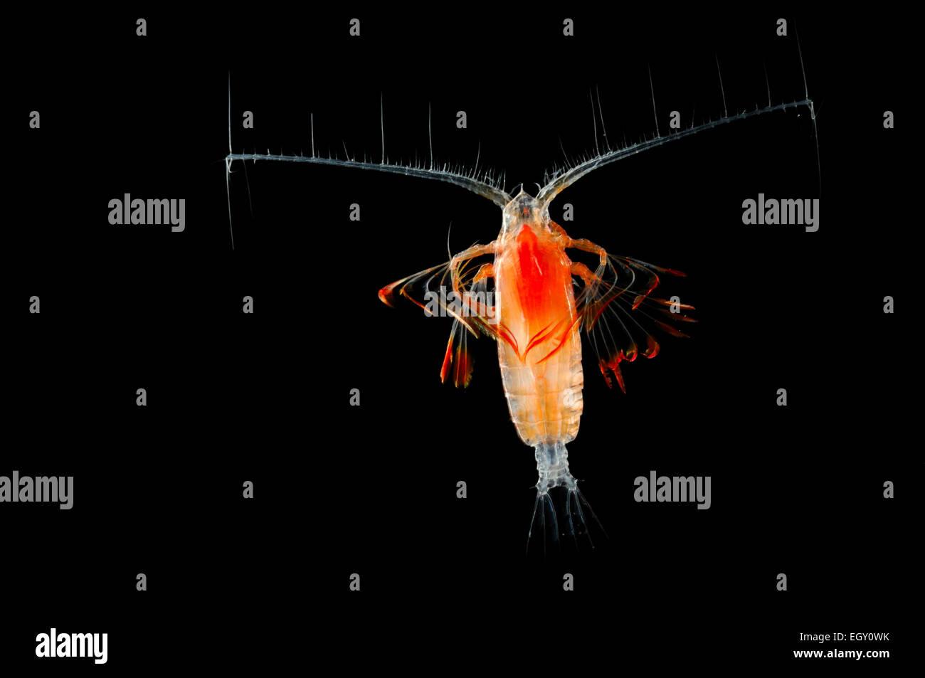 Marine Planktonic Copepod Euchirella comprises tropical and subtropical forms. The genus.comprises more than 30 - Stock Image