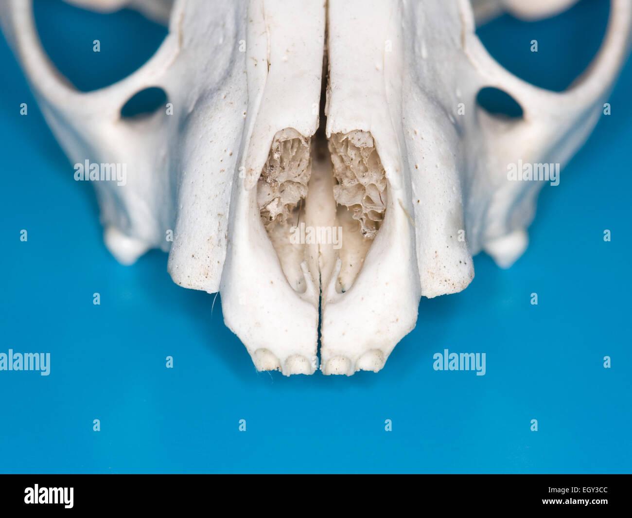raccoon skull image.html