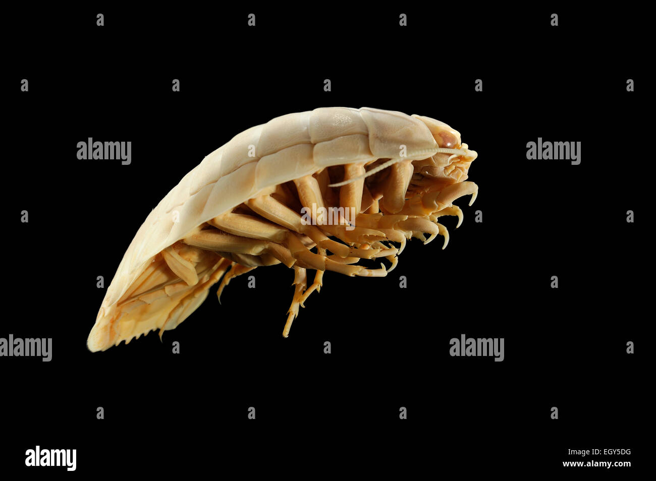 Giant Deep-Sea Isopod (Bathynomus c. f. giganteus), juv., Picture was taken in cooperation with the Zoological Museum - Stock Image