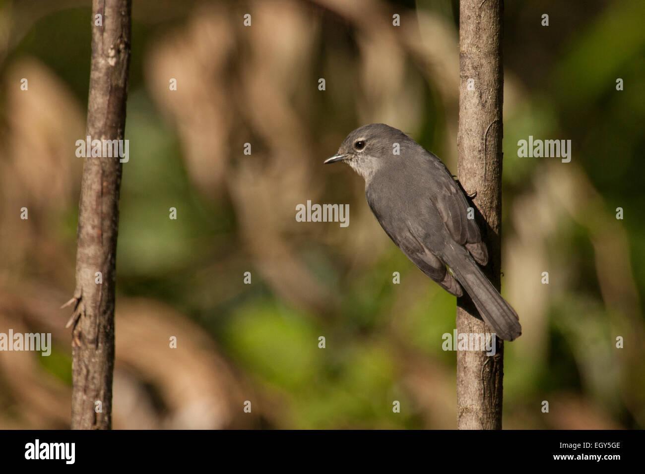 White-eyed slaty flycatcher (Melaenornis fischeri) - Stock Image