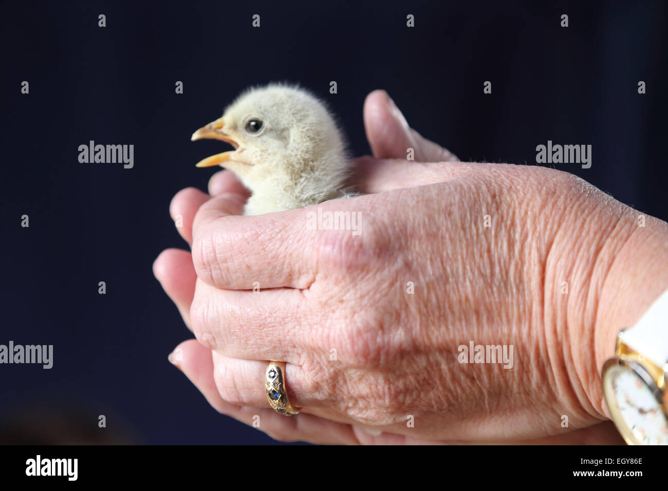 Chick being held - model released - Stock Image