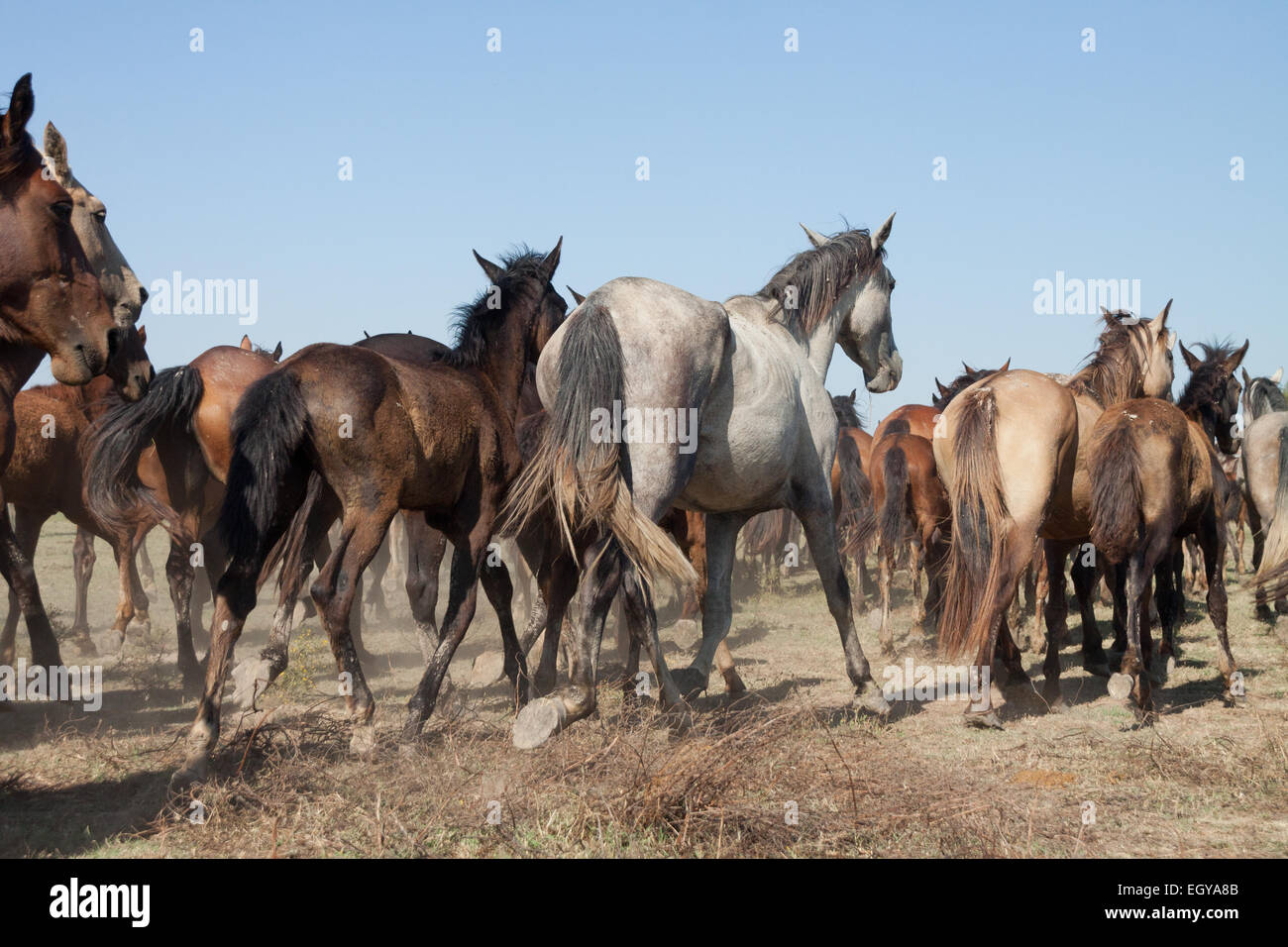 Herd Of Wild Horses Running Wild In The Countryside Almonte Huelva Stock Photo Alamy