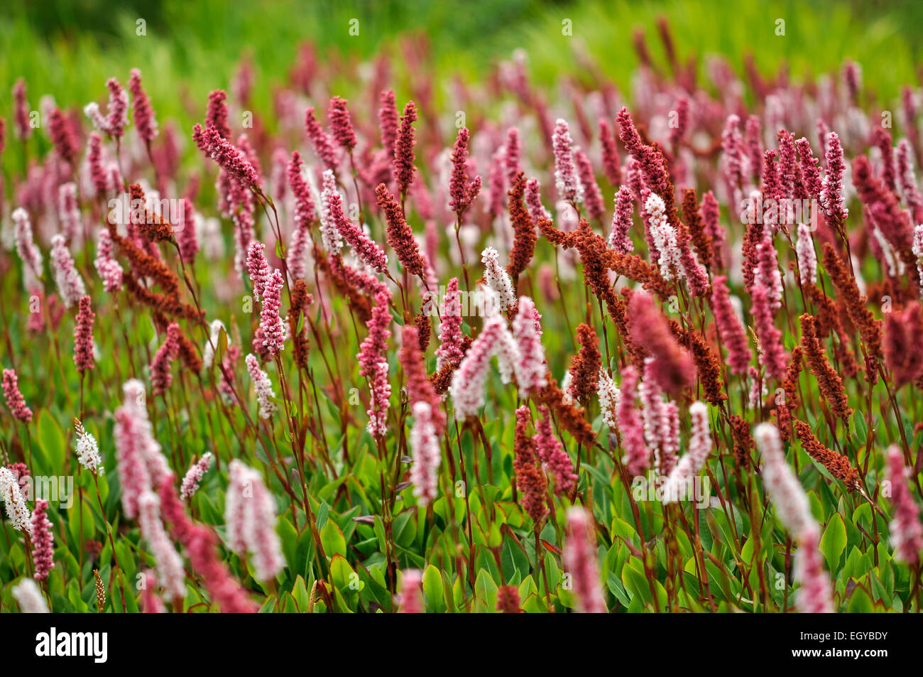 Low Growing Plant Perennial Stock Photos Low Growing Plant