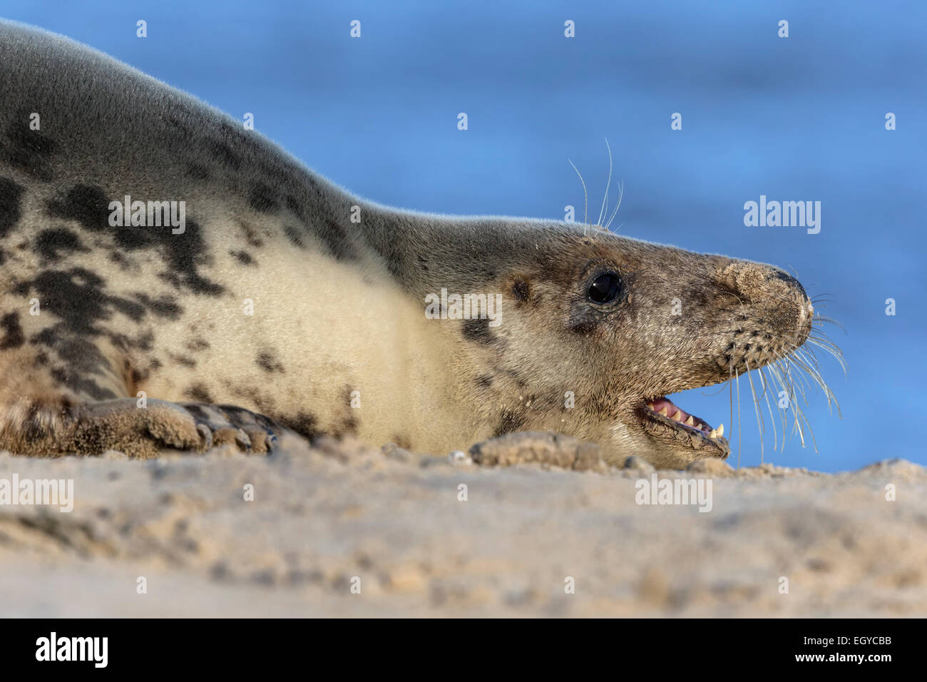 Atlantic Grey Seal cow showing aggression - Halichoerus grypus - Stock Image