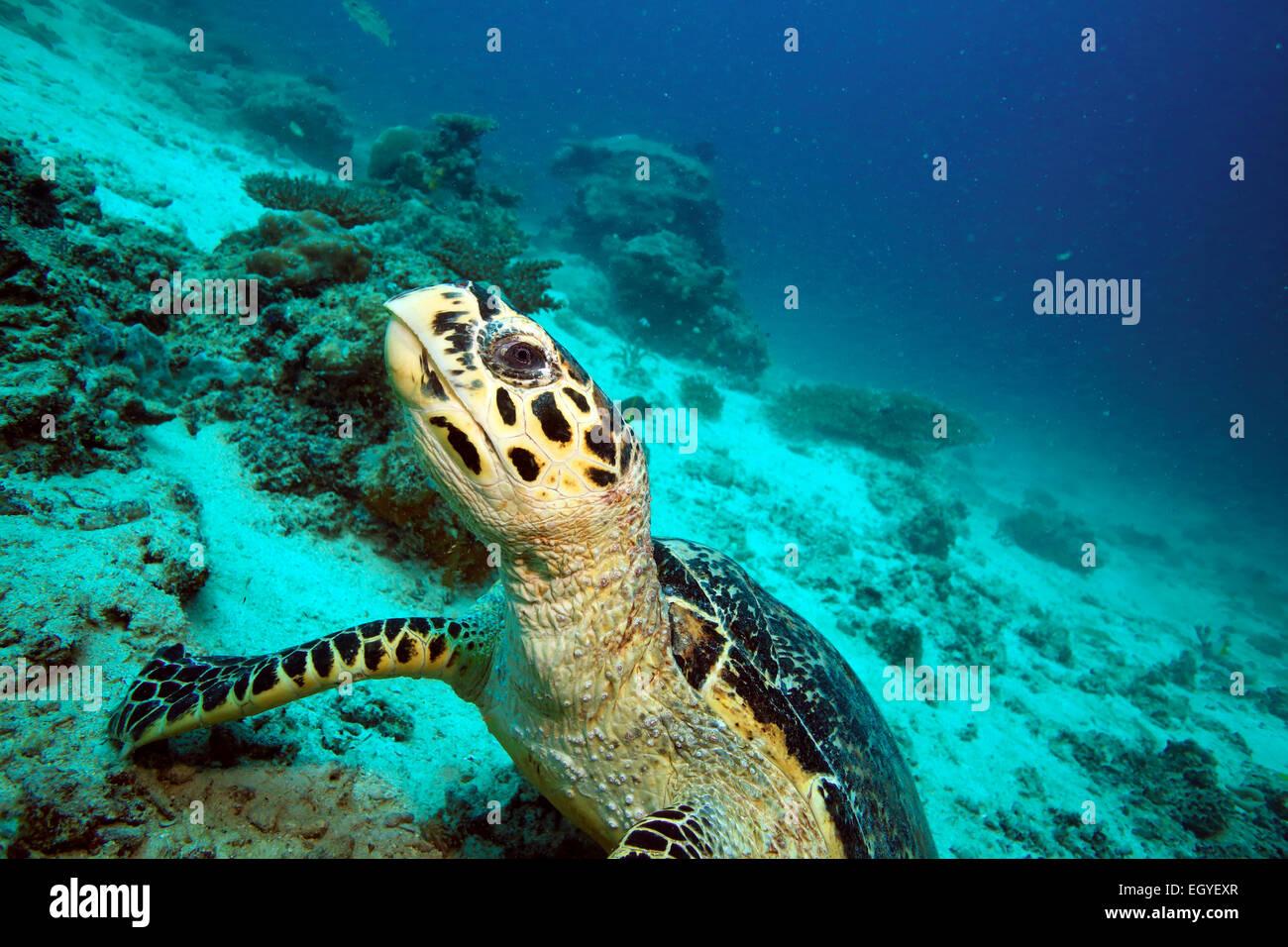 Hawksbill sea turtle underwater at Mabul Island, Borneo - Stock Image