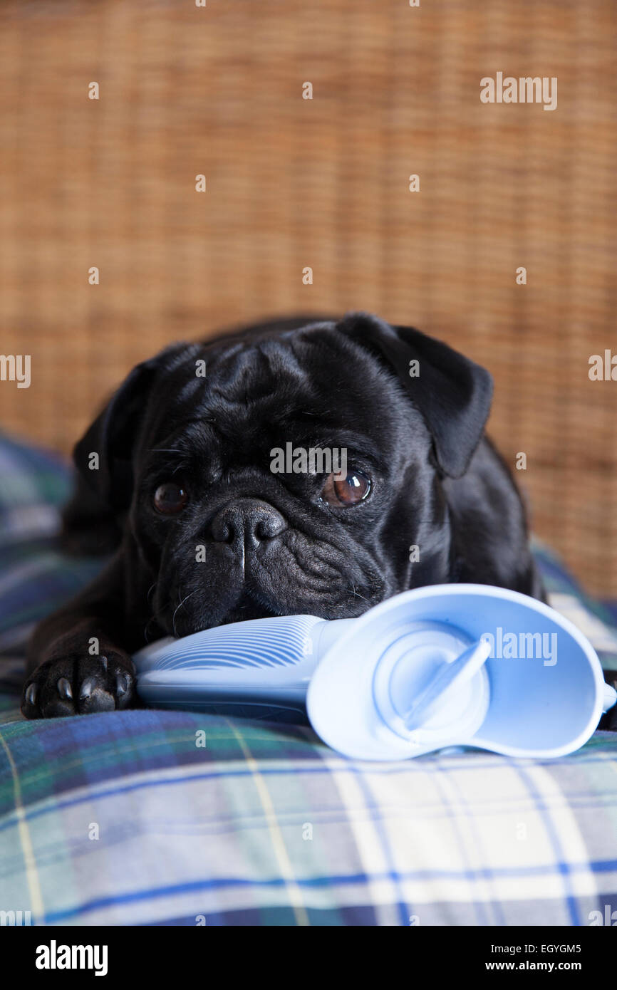 Black pug on hot water bottle in bed - Stock Image