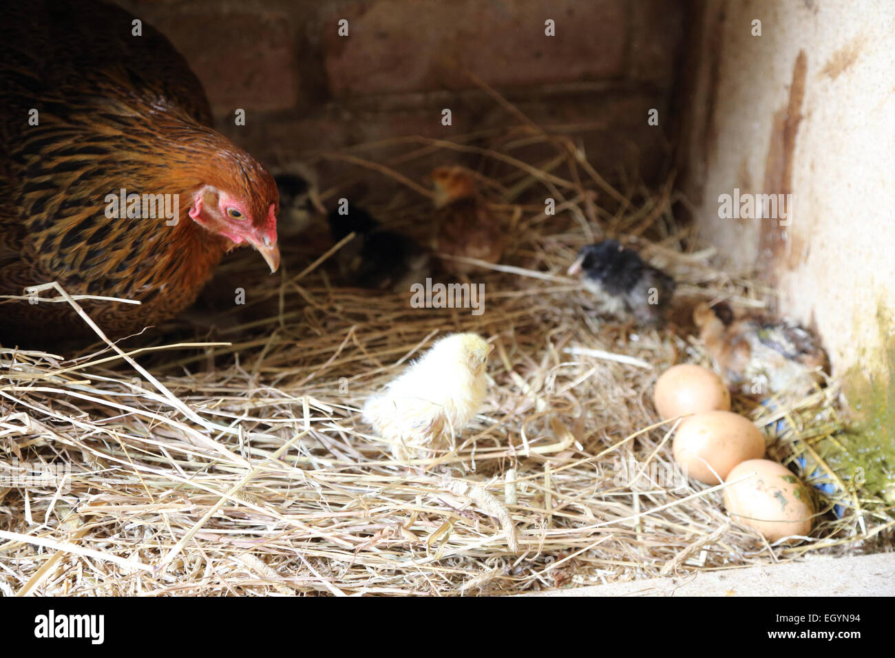 Chicken and eggs - and chick! - Stock Image