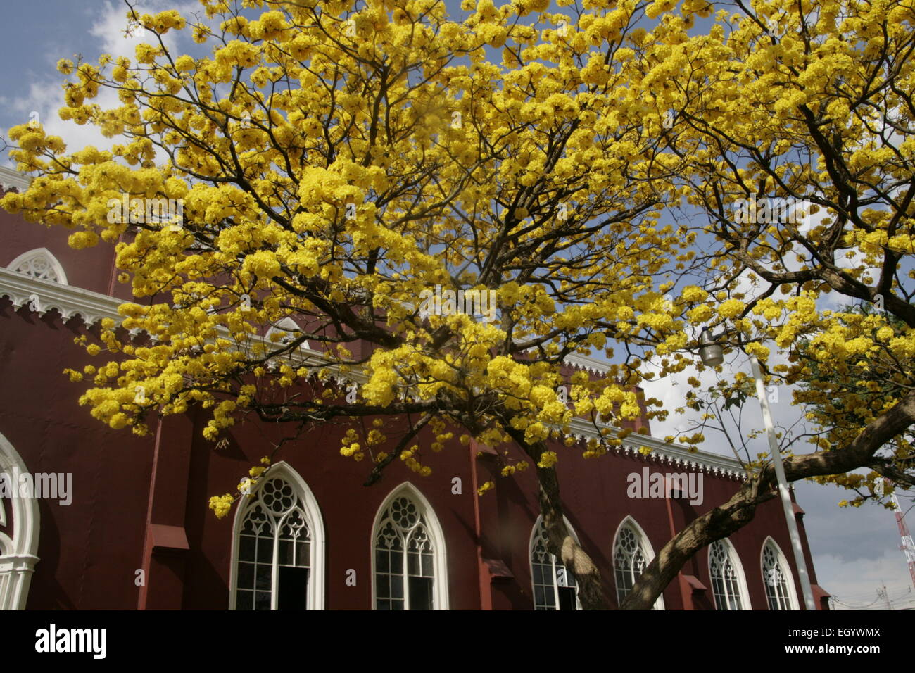 Stunning yellow Cortez tree in full bloom outside the red metal church in Grecia, Costa Rica - Stock Image