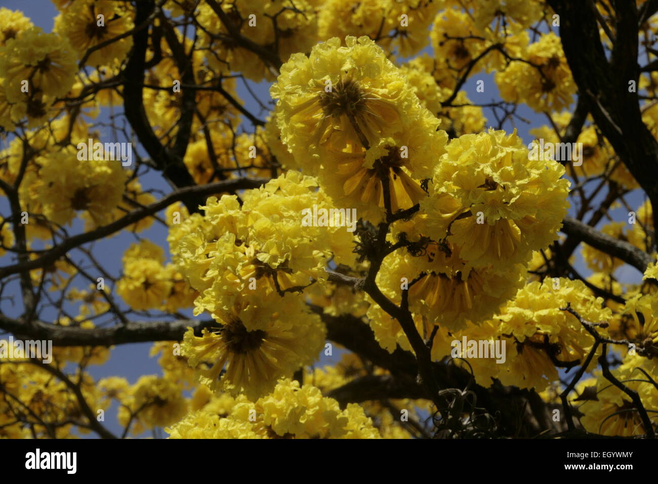 Stunning yellow Cortez tree in full bloom outside the church in Grecia, Costa Rica - Stock Image