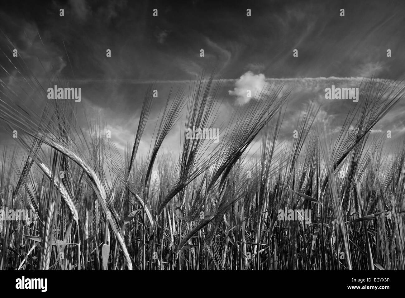 Close up of ears of barley growing in a Norfolk field. - Stock Image