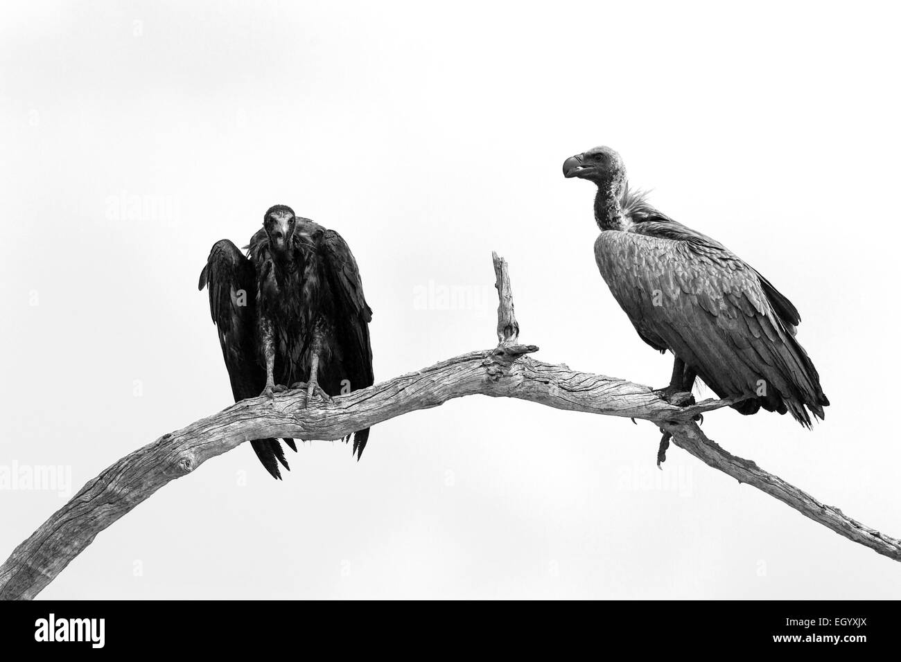 A white-backed and hooded vulture perched in a tree in Savuti, Chobe national park, Botswana - Stock Image