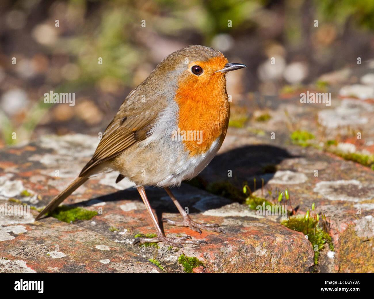 European Robin (erithacus rubecula), UK - Stock Image