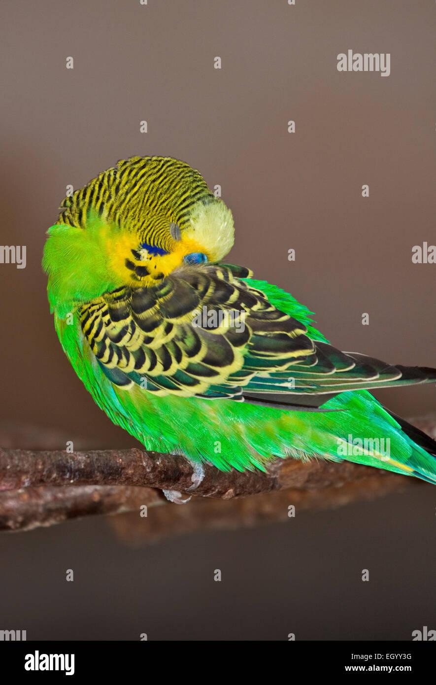 Green Budgerigar (melopsittacus undulatus) snoozing - Stock Image