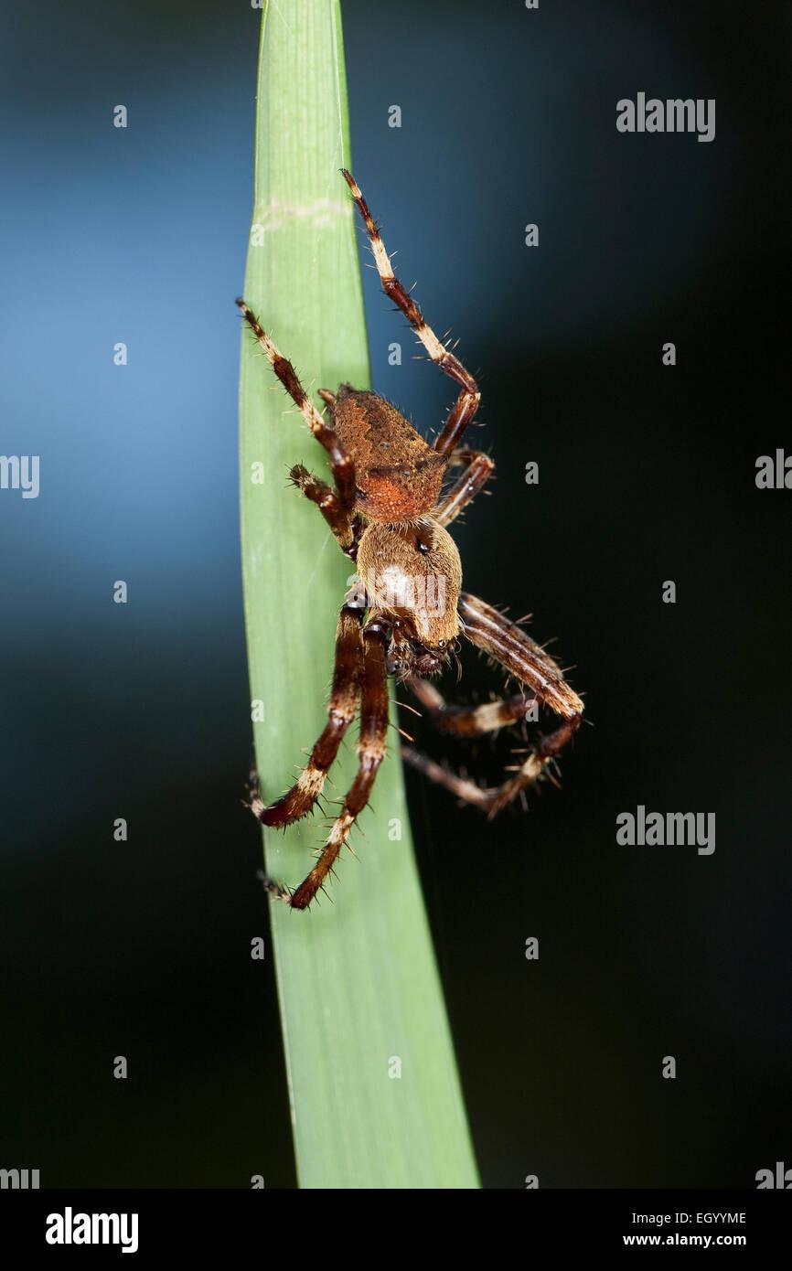 Horned orbweaver, male, Gehörnte Kreuzspinne, Gehörnte Radnetzspinne, Männchen, Araneus angulatus Stock Photo