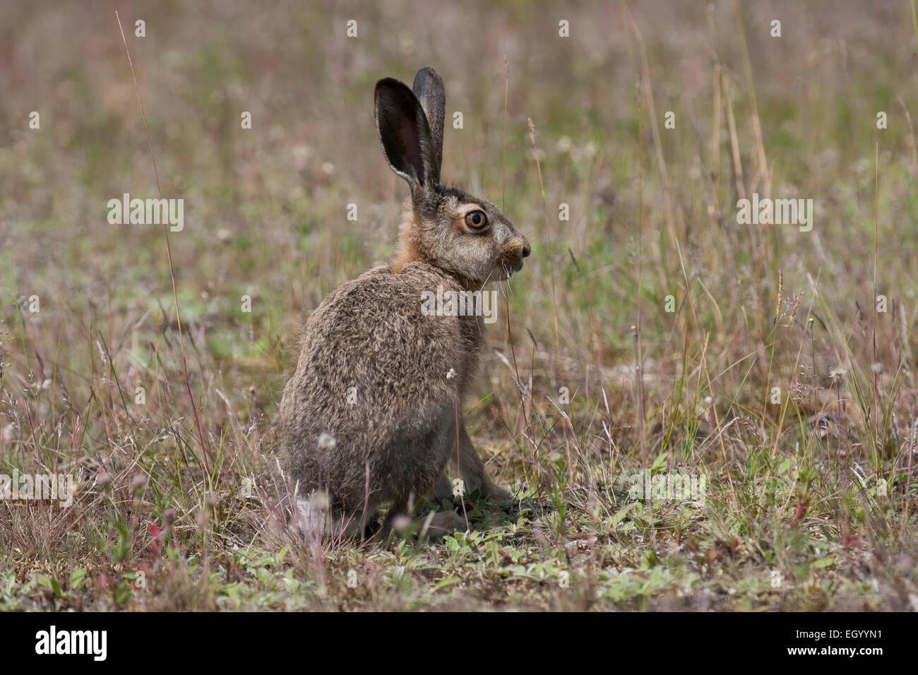 European hare, Brown Hare, hares, Feldhase, Feld-Hase, Hase, Lepus europaeus, Lièvre d'Europe - Stock Image