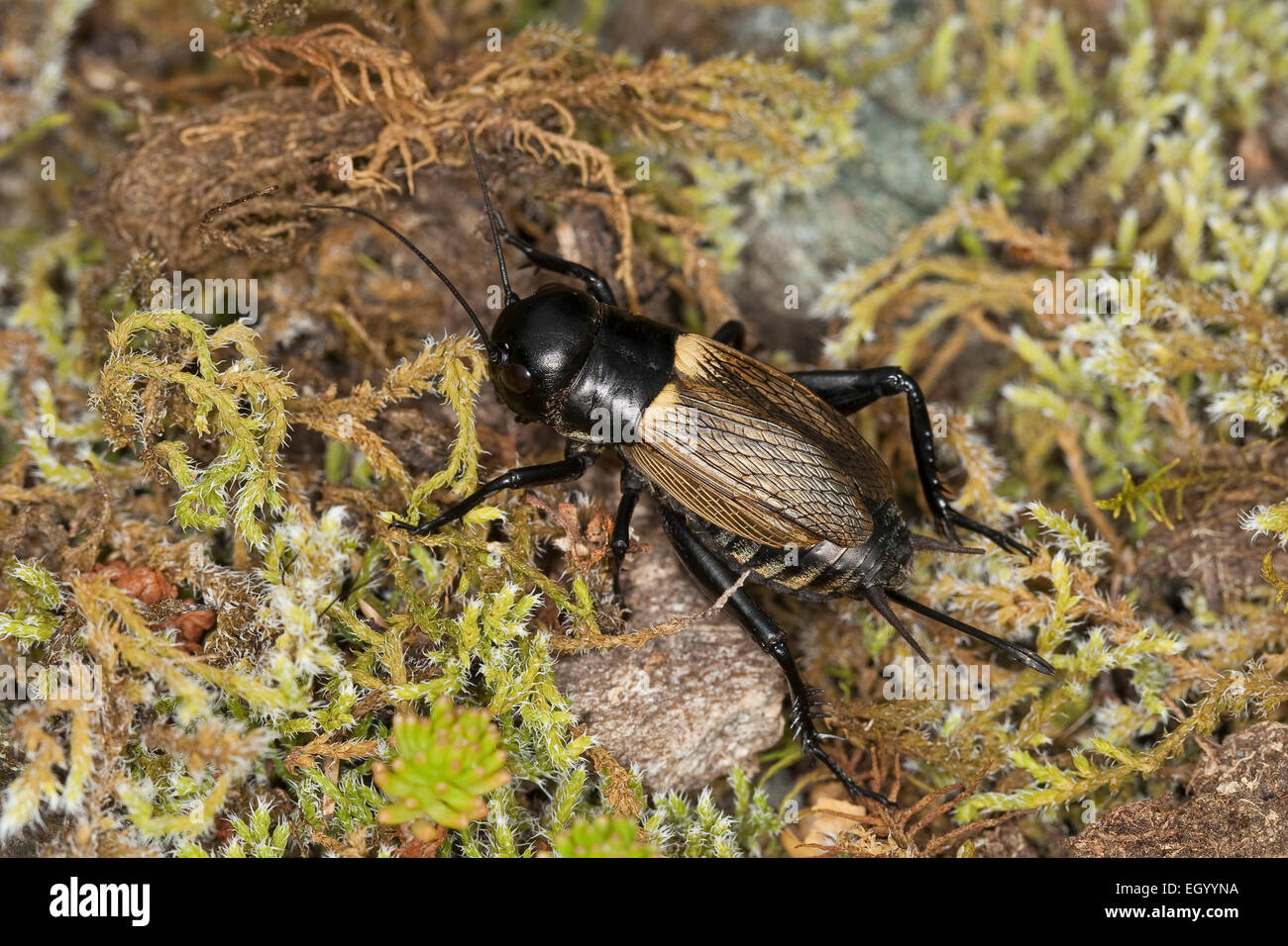 Field cricket, female, Feldgrille, Weibchen, Feld-Grille, Grille, Gryllus campestris, Grillen, Gryllidae, Grillon - Stock Image
