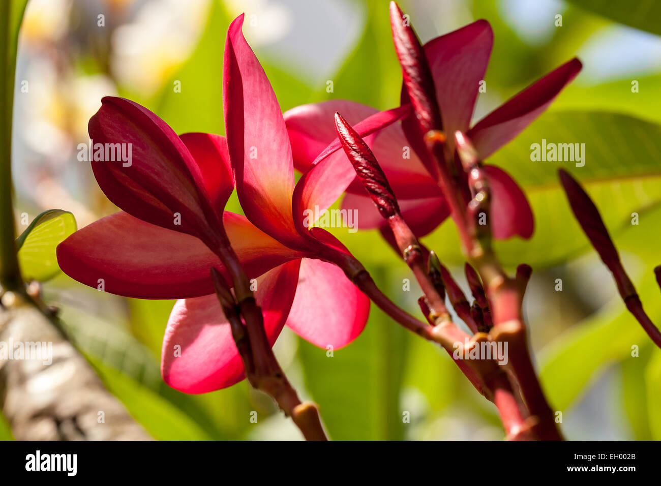 Tropical Pink Flowers Stock Photos Tropical Pink Flowers Stock