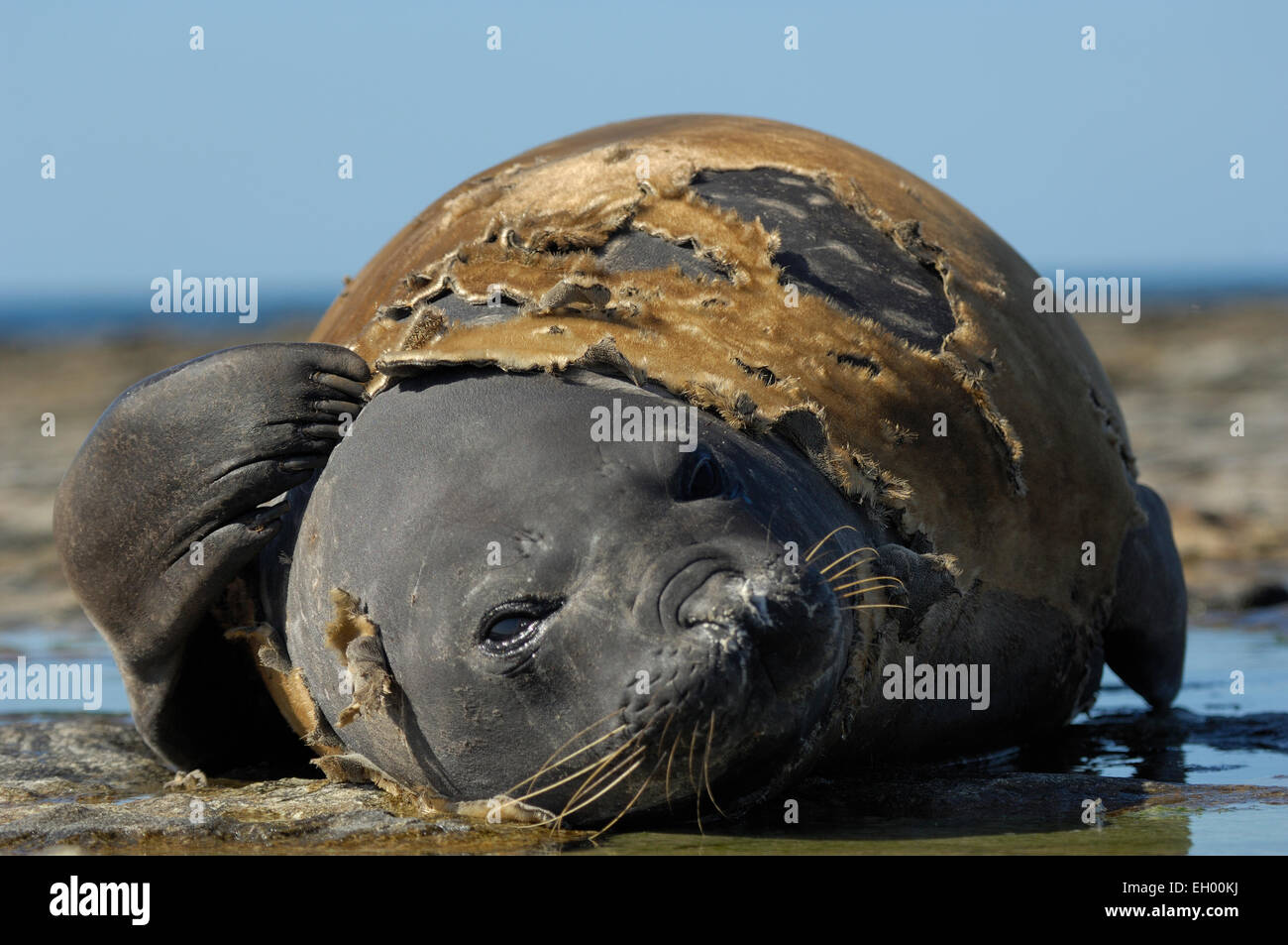 Southern Elephant Seal (Mirounga leonina) | See-Elefant (Mirounga leonina) Stock Photo