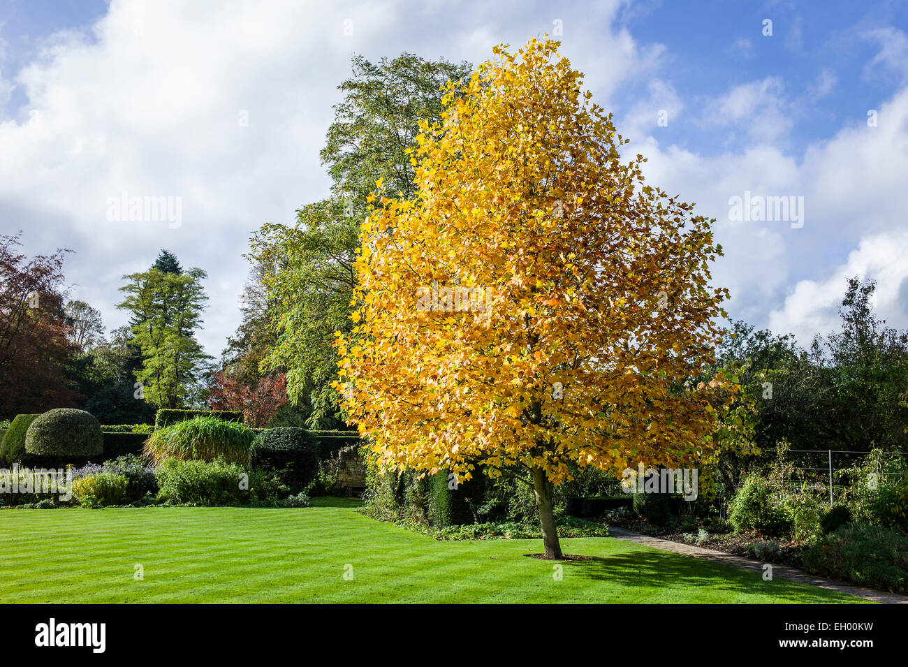 Tulip Tree In Autumn Colours In Uk Stock Photo 79291181 Alamy