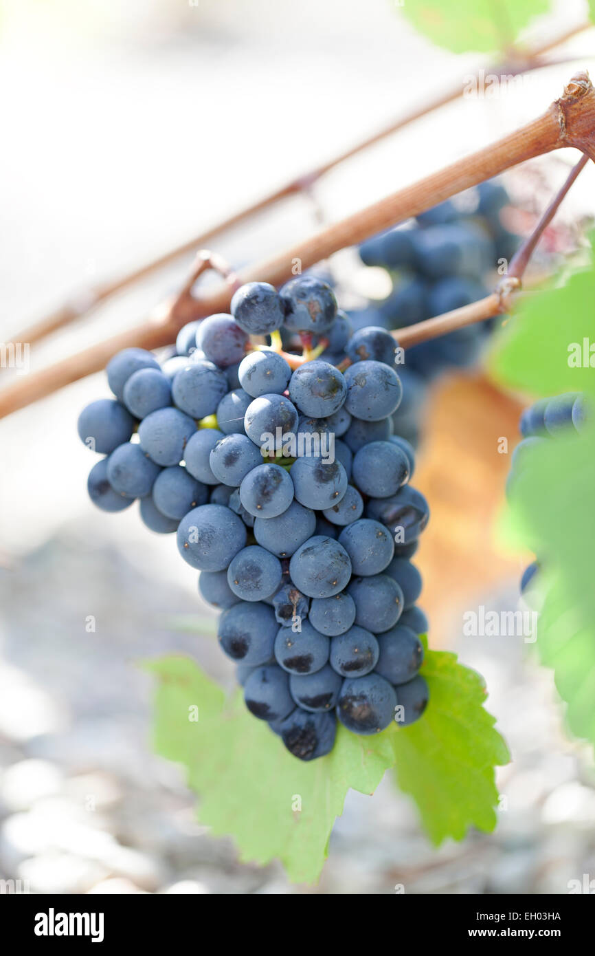 Grapes : Zweigeltrebe Blau. - Stock Image