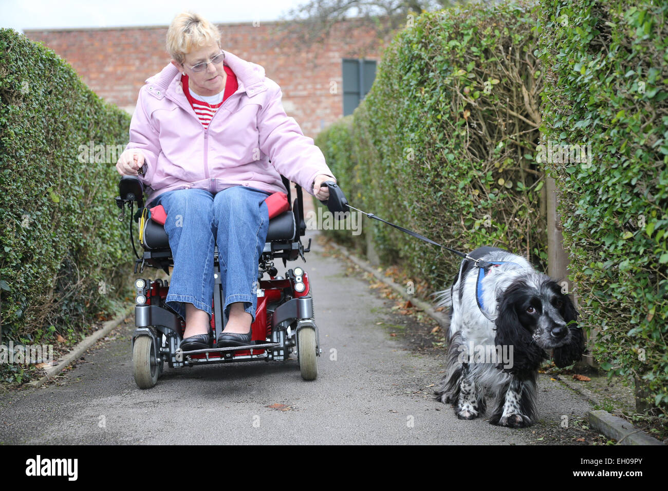 Wheelchair user talking dog for walk - model released - Stock Image