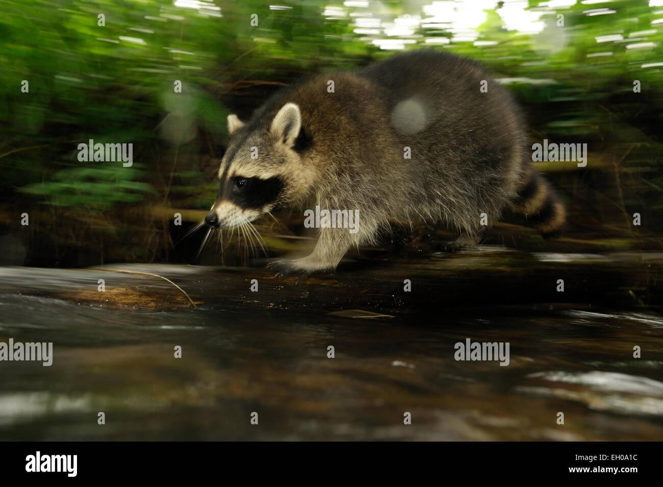[captive] Raccoon (Procyon lotor) | Waschbär (Procyon lotor) Stock Photo