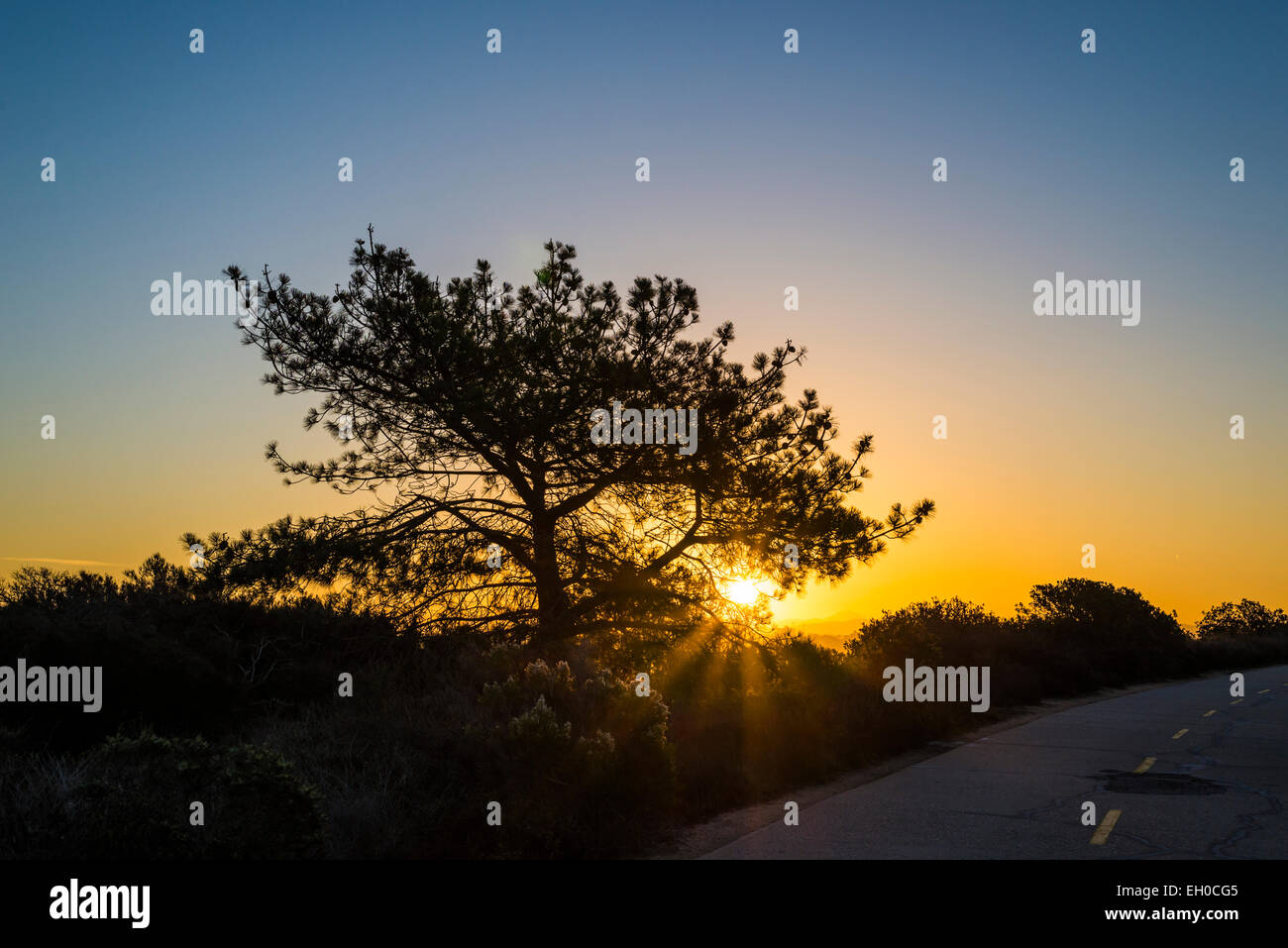 The rising Sun viewed through the branches of a Torrey Pine tree. Torrey Pines State Natural Reserve, La Jolla, - Stock Image