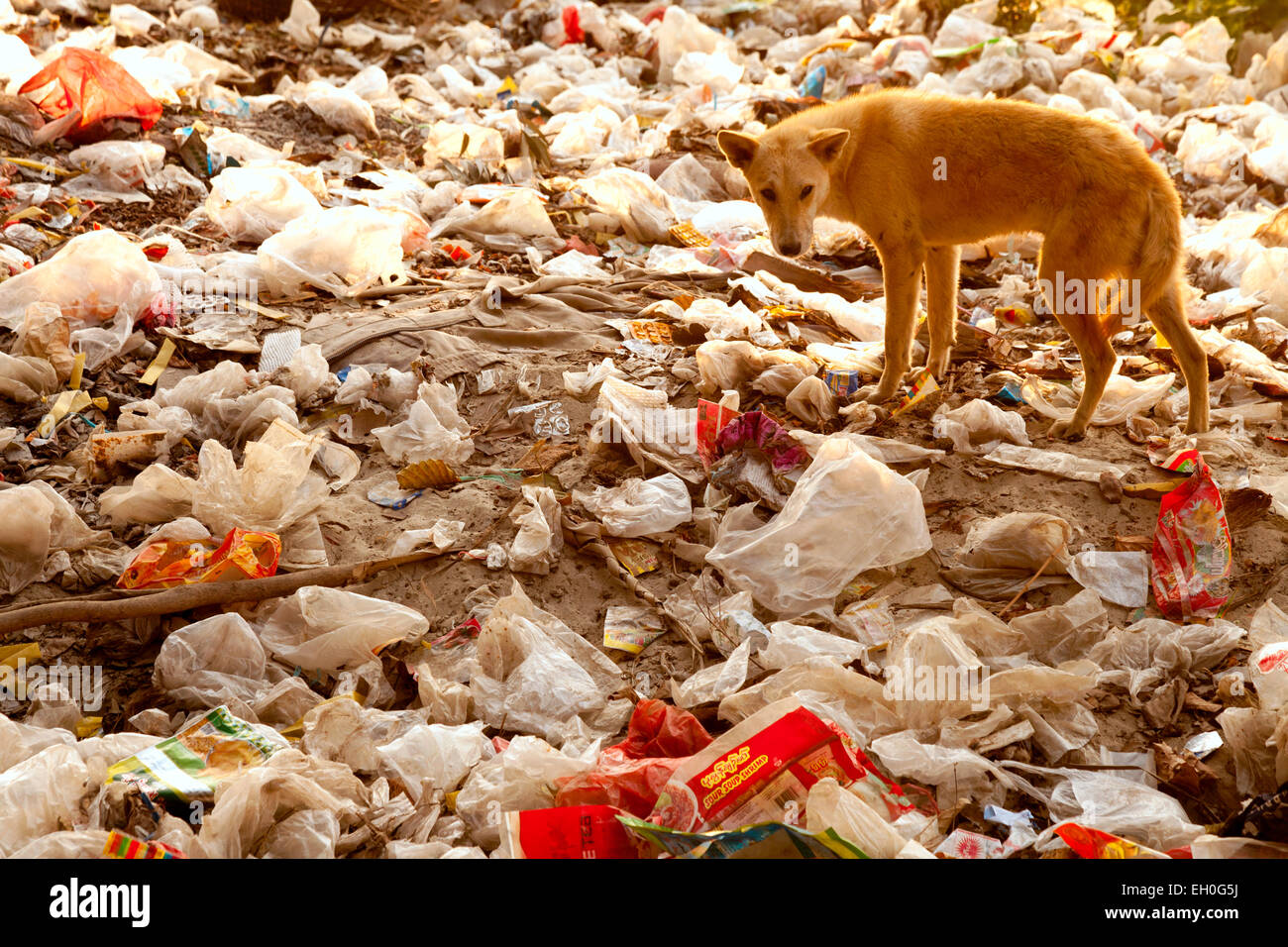 A dog foraging on a rubbish heap - example of pollution; Mandalay, Myanmar ( Burma ),  Asia - Stock Image