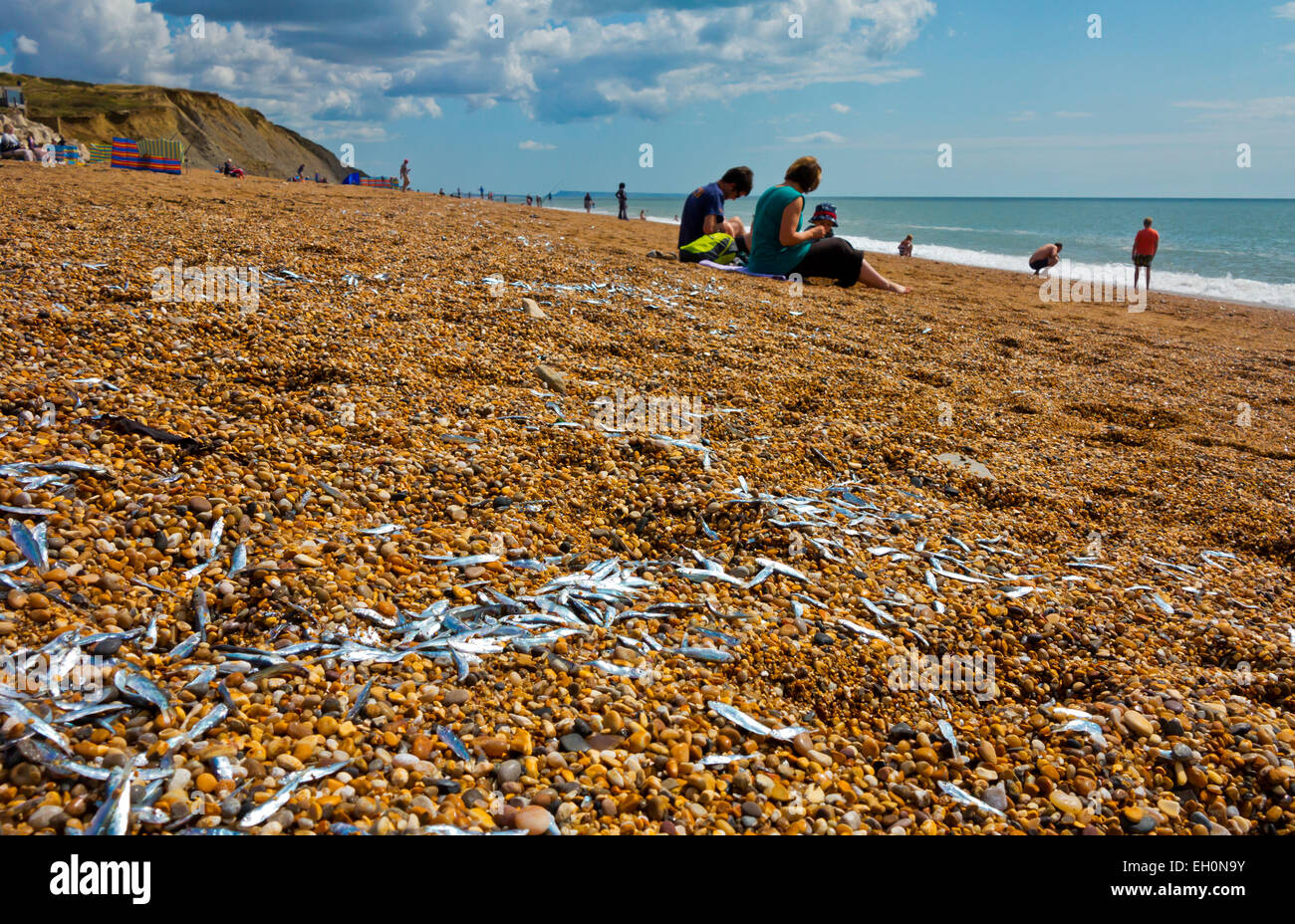 Whitebait stranded on a beach at Burton Bradstock Dorset England UK the fish are believed to have been herded there - Stock Image