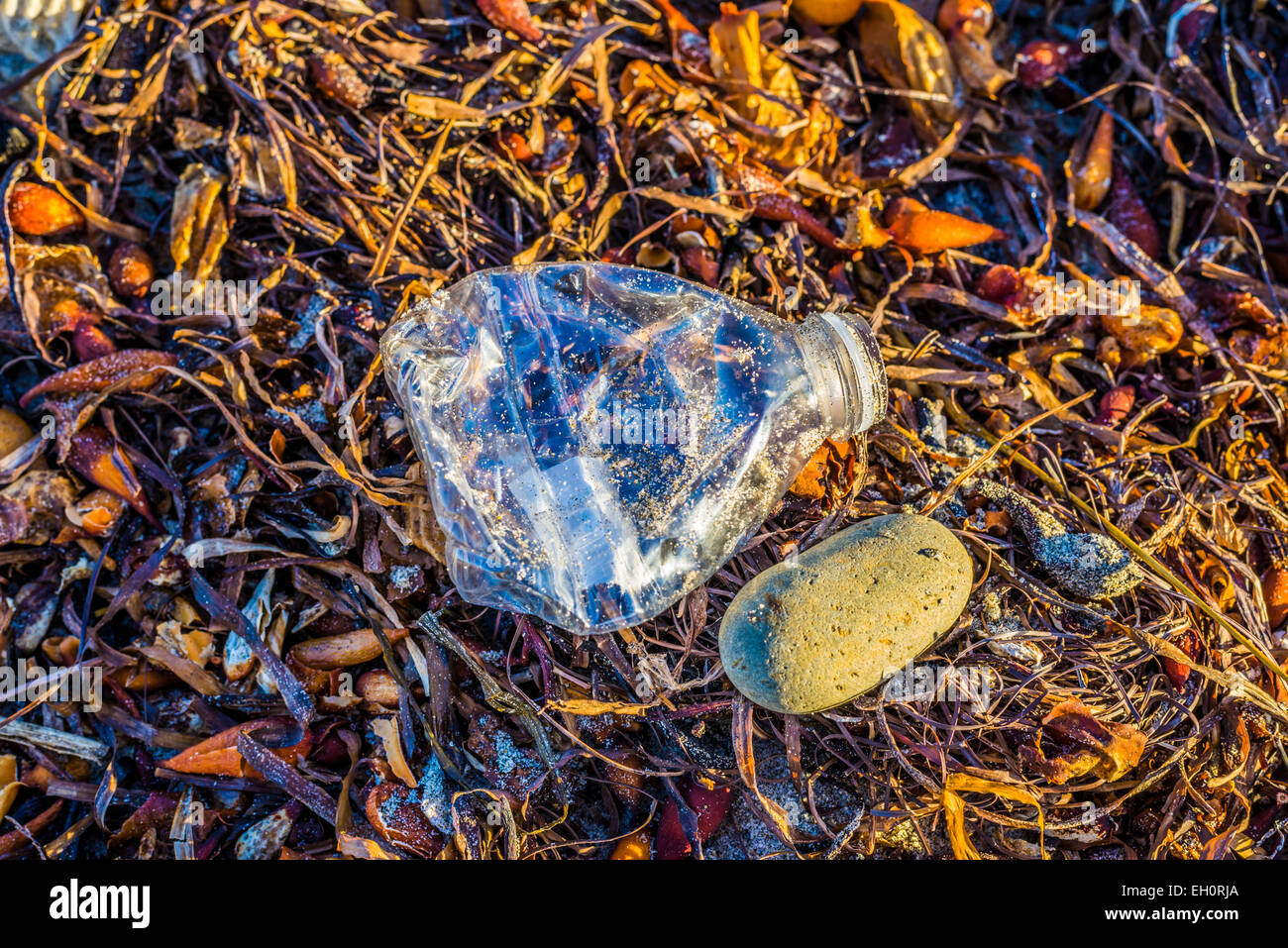 Plastic water bottle left as trash lying atop kelp on a beach. - Stock Image