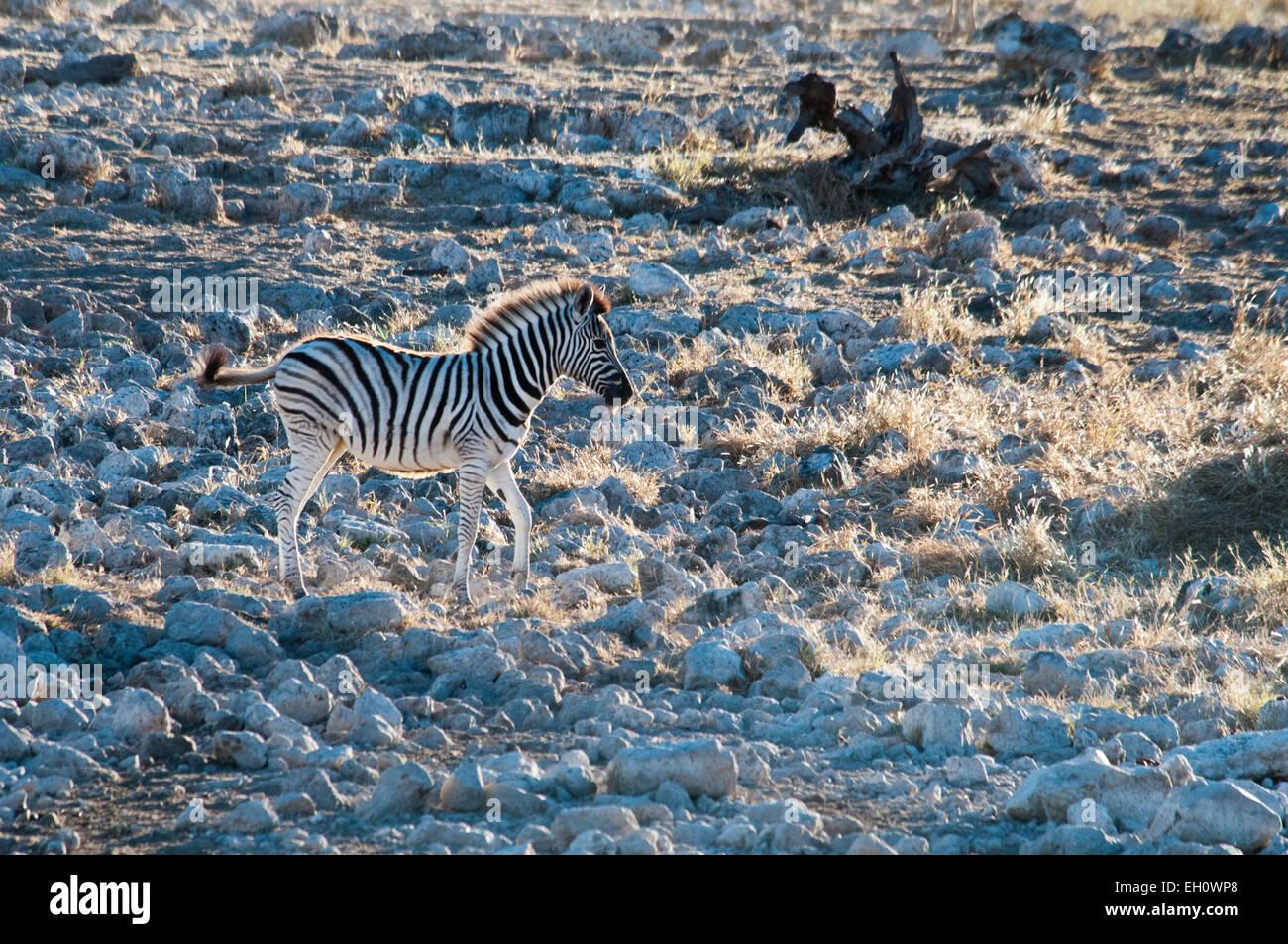 Burchell's Zebra, Equus burchellii, solitary Foal at the Okaukuejo waterhole, Etosha National Park, Namibia, Africa Stock Photo