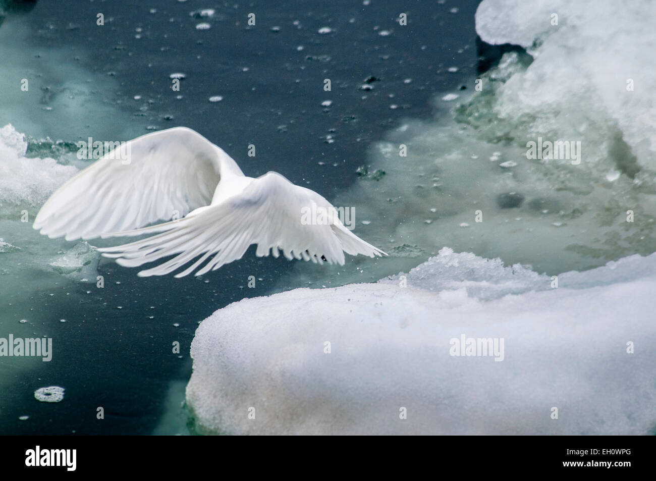Dreamy Image of an Adult Ivory Gull, Pageophilia eburnea, flying over the Olgastretet Pack Ice Svalbard, Norway - Stock Image