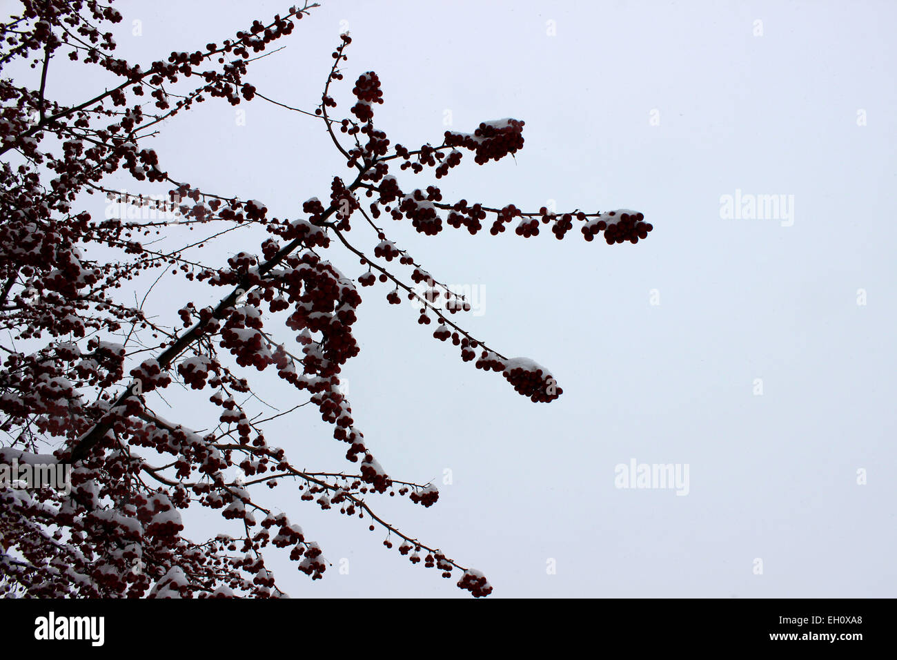 Closeup of a perennial tree branch with red fruit that proudly contrasts between snow and cloudy sky in a Canadian - Stock Image